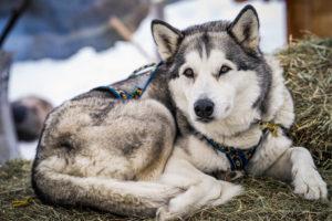 Husky beim Skitouren Event